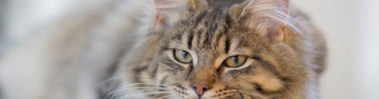 Image illustrant l'article Les mutuelles pour chat : quel fonctionnement pour être remboursé ?