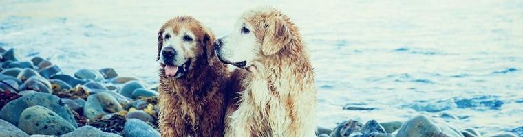 Image illustrant l'article Mutuelle pour les chiens, est ce indispensable ?