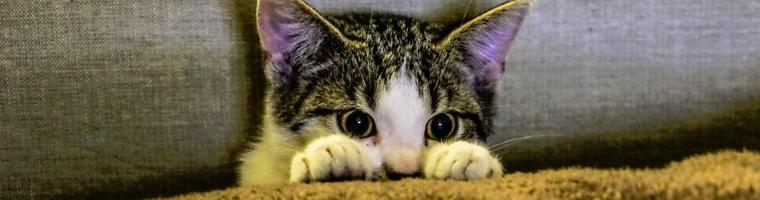Image illustrant l'article Comment fonctionne une assurance pour chat, quels sont les frais couverts ?